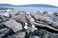 Arctic Sandwort grows on rocky ground