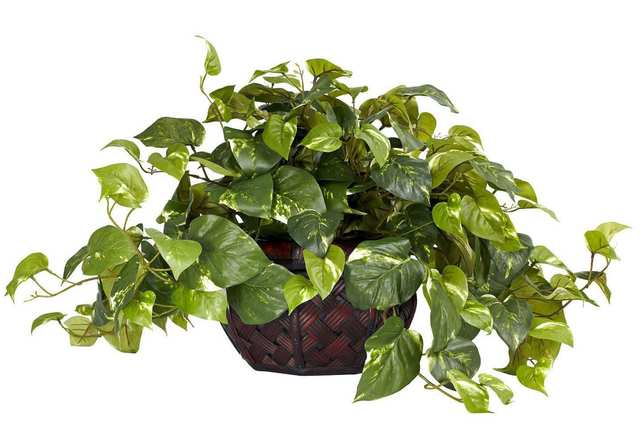 Golden Pothos - Effective in removing formaldehyde, thrives also under fluorescent lights and it's very easy to care for.