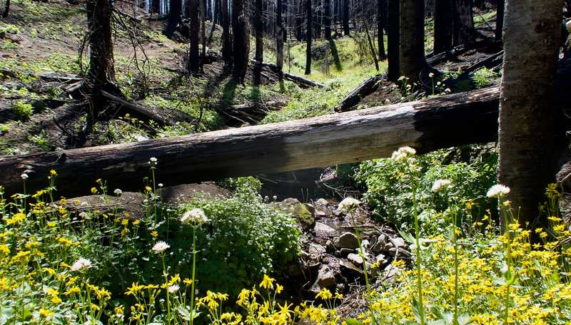A stream and flowers with trees burned in the Norse Peak fire