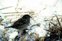 A House Sparrow on a snowy day