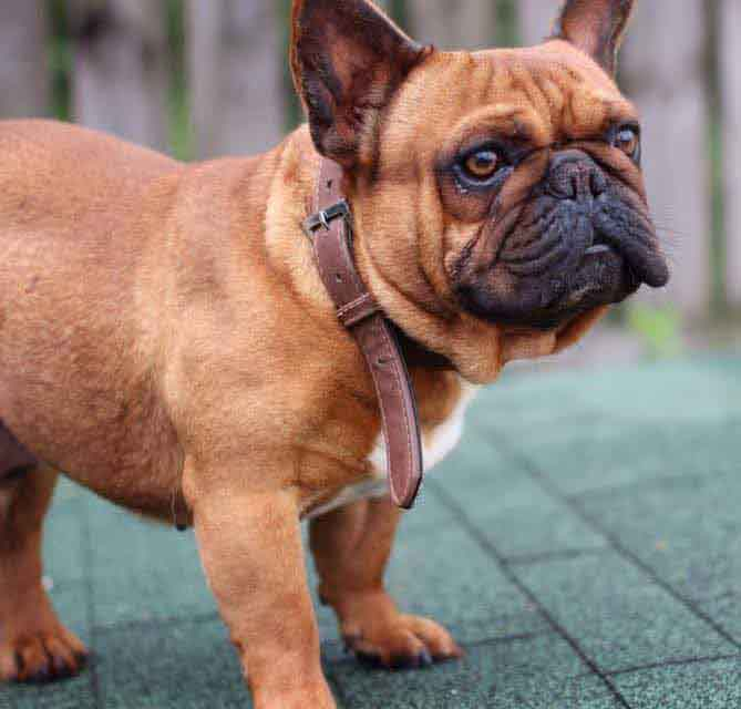 French Bulldog Colors Explained Ethical Frenchie