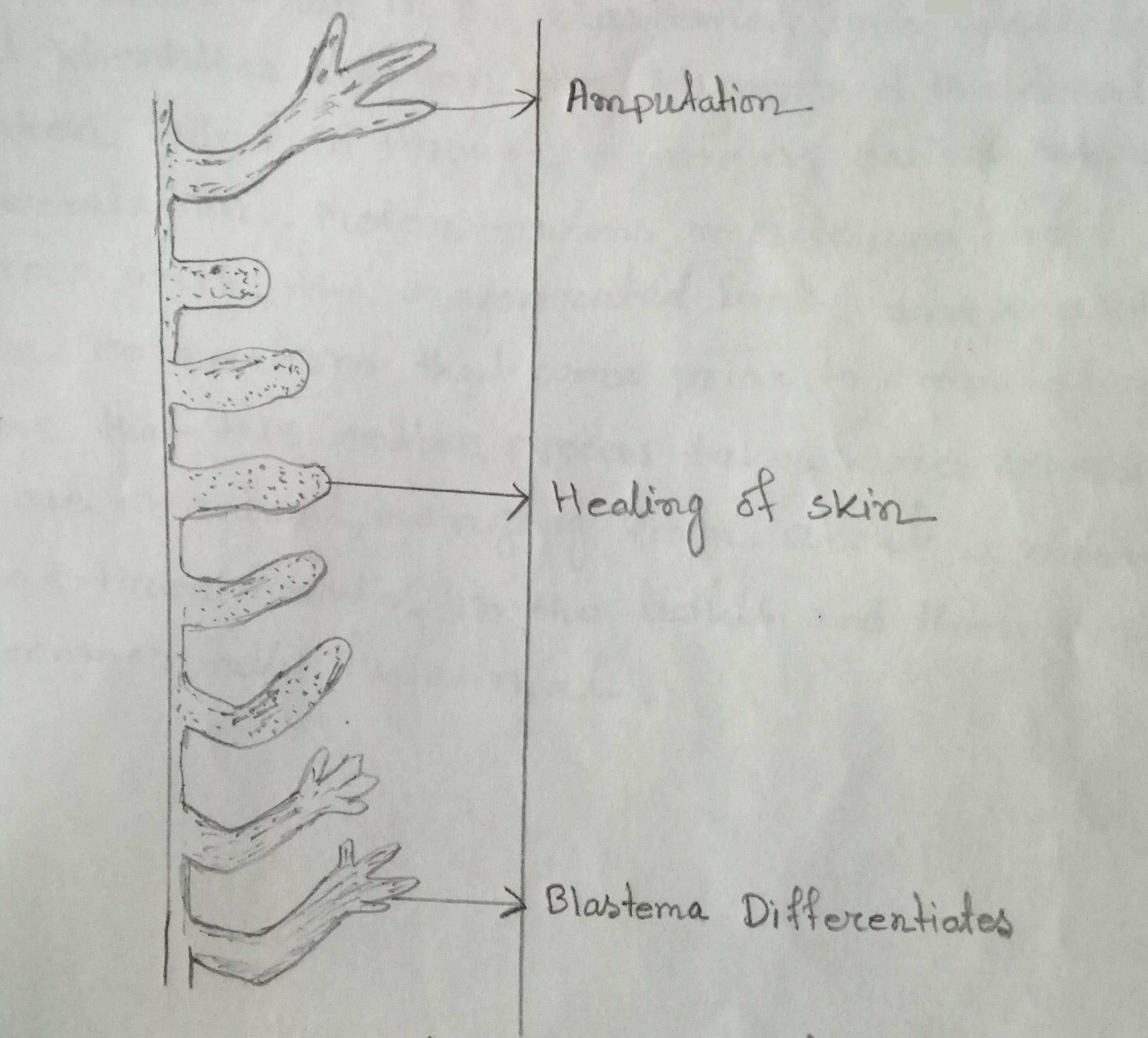 Different stages of regeneration of salamander limb