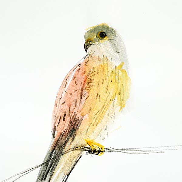 Kestral, Gouache and pencil