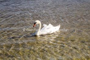 A lovely picture of a swan swimming in the lake at New Forest