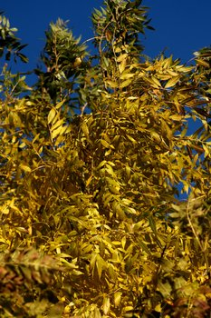 Yellow Leaves 1573