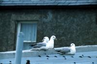 Three Fulmars on a roof