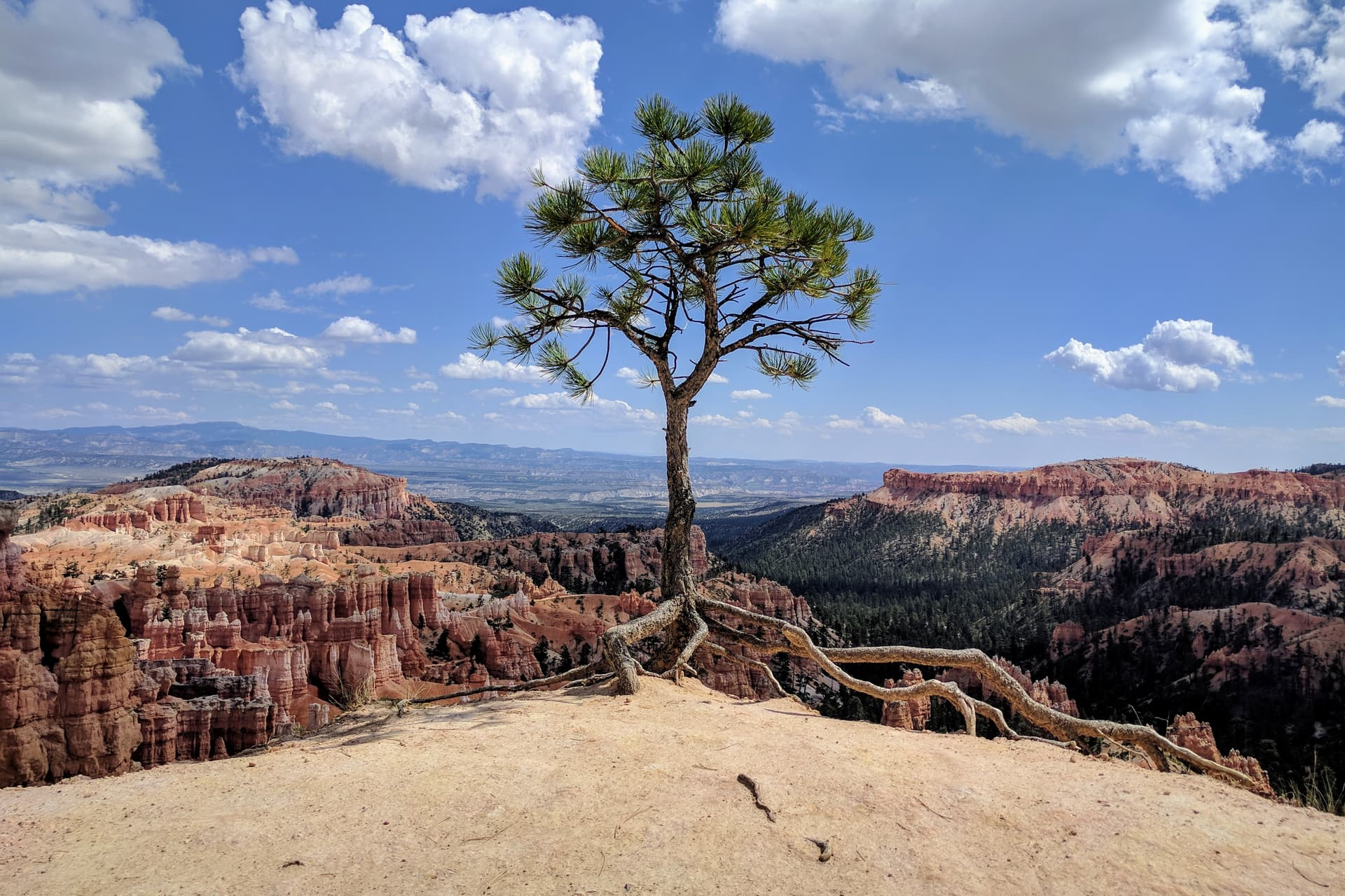 A small pine tree growing right on the rim of Bryce Canyon. The rim has been washed away from below the tree, such that it now stands on its roots, as if it were about to walk away. The red and white rock pillars of Bryce Canyon can be seen beyond it.