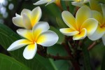 Frangipani flowers by Renesis. Creative Commons