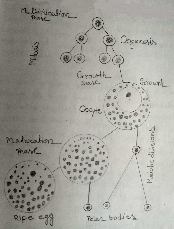 Stages in Oogenesis