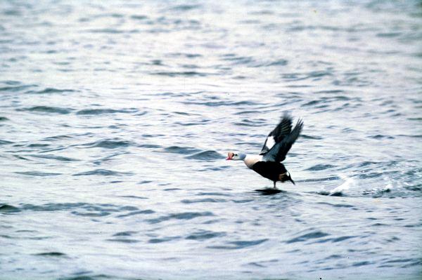 A King Eider takes flight