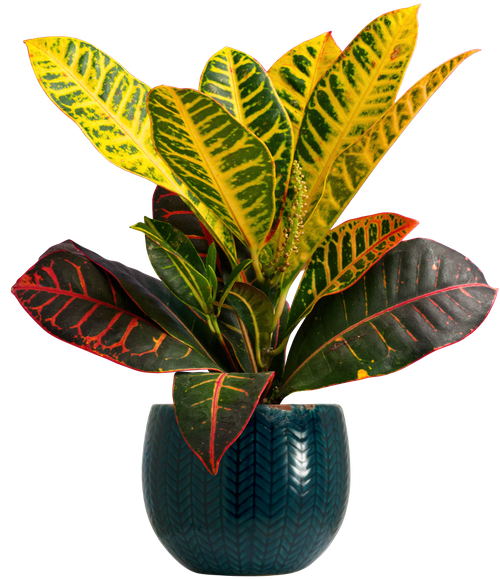 Small Variegated Croton (Codiaeum variegatum 'Petra' ) - from £12