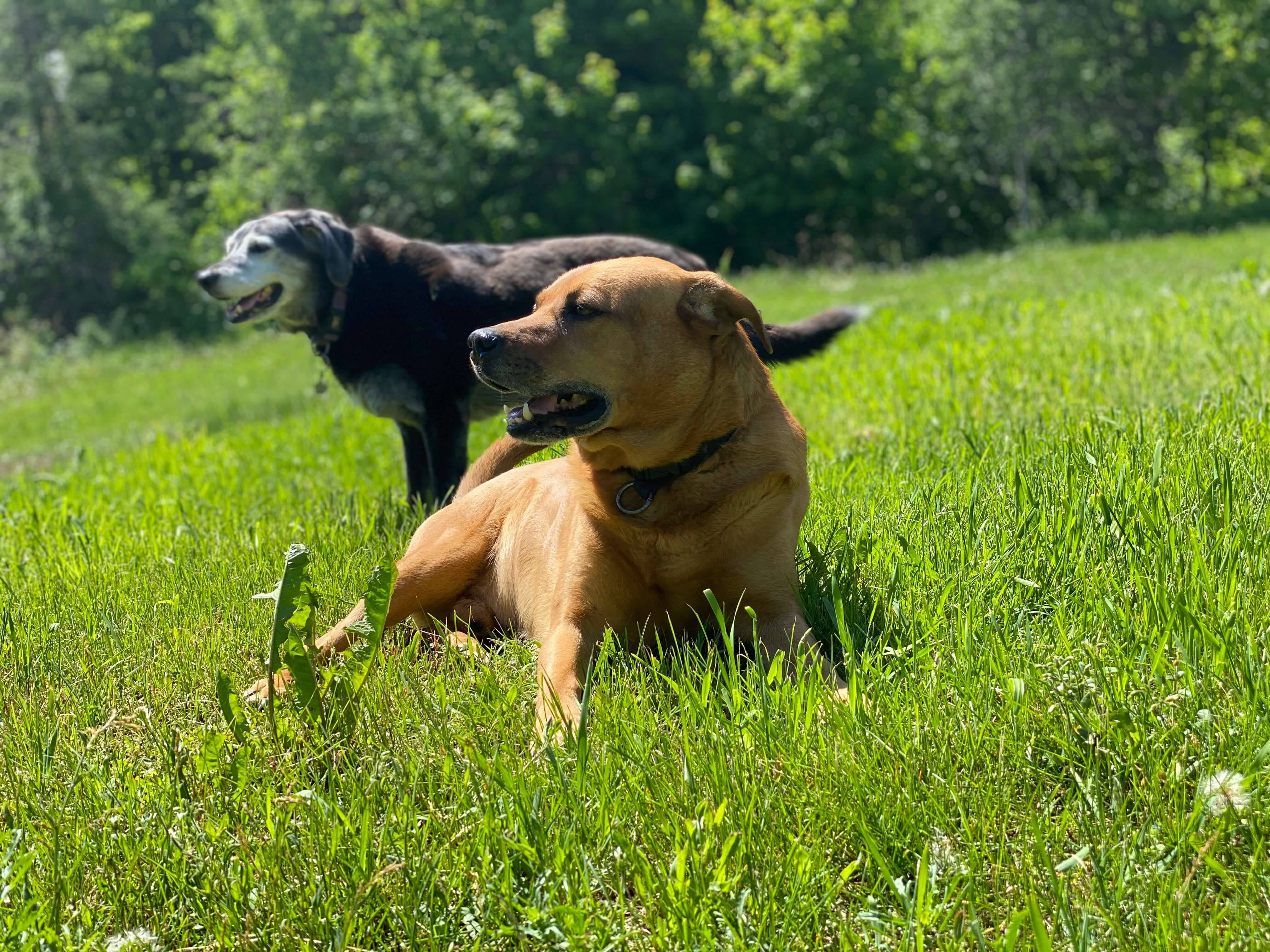 Rocky and Lilly, the Gervais' dogs in the grass.