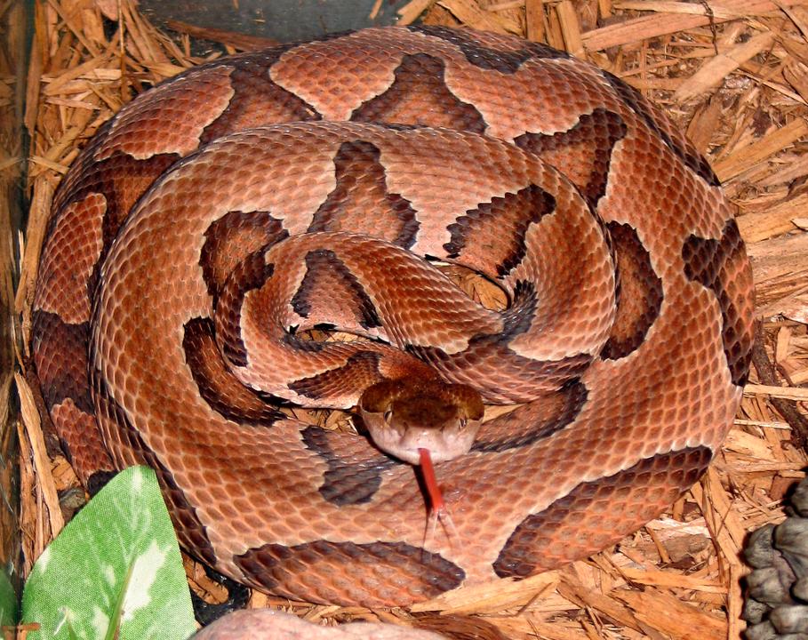 Serpiente cabeza de cobre sacando la lengua.