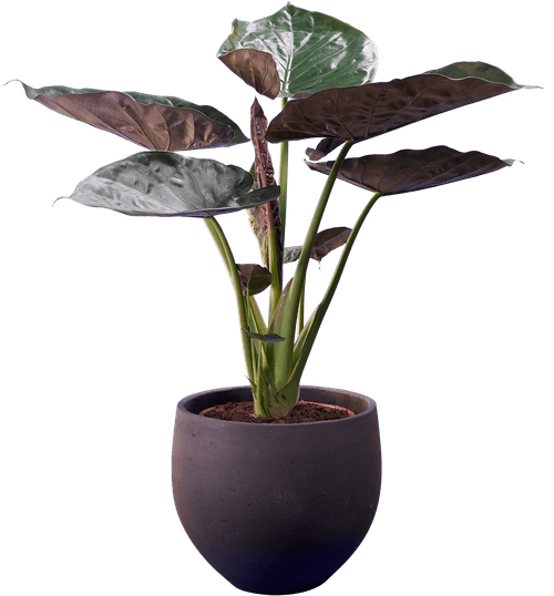 Hardy Elephant Ear (Alocasia wentii ) - from £55