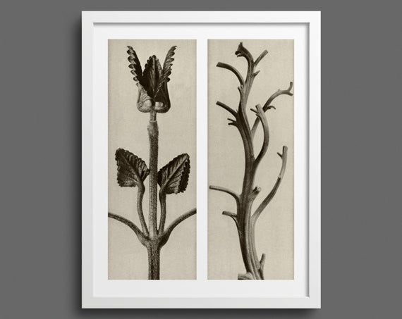 Hedge Nettle and Tobacco Plant - Plate 48