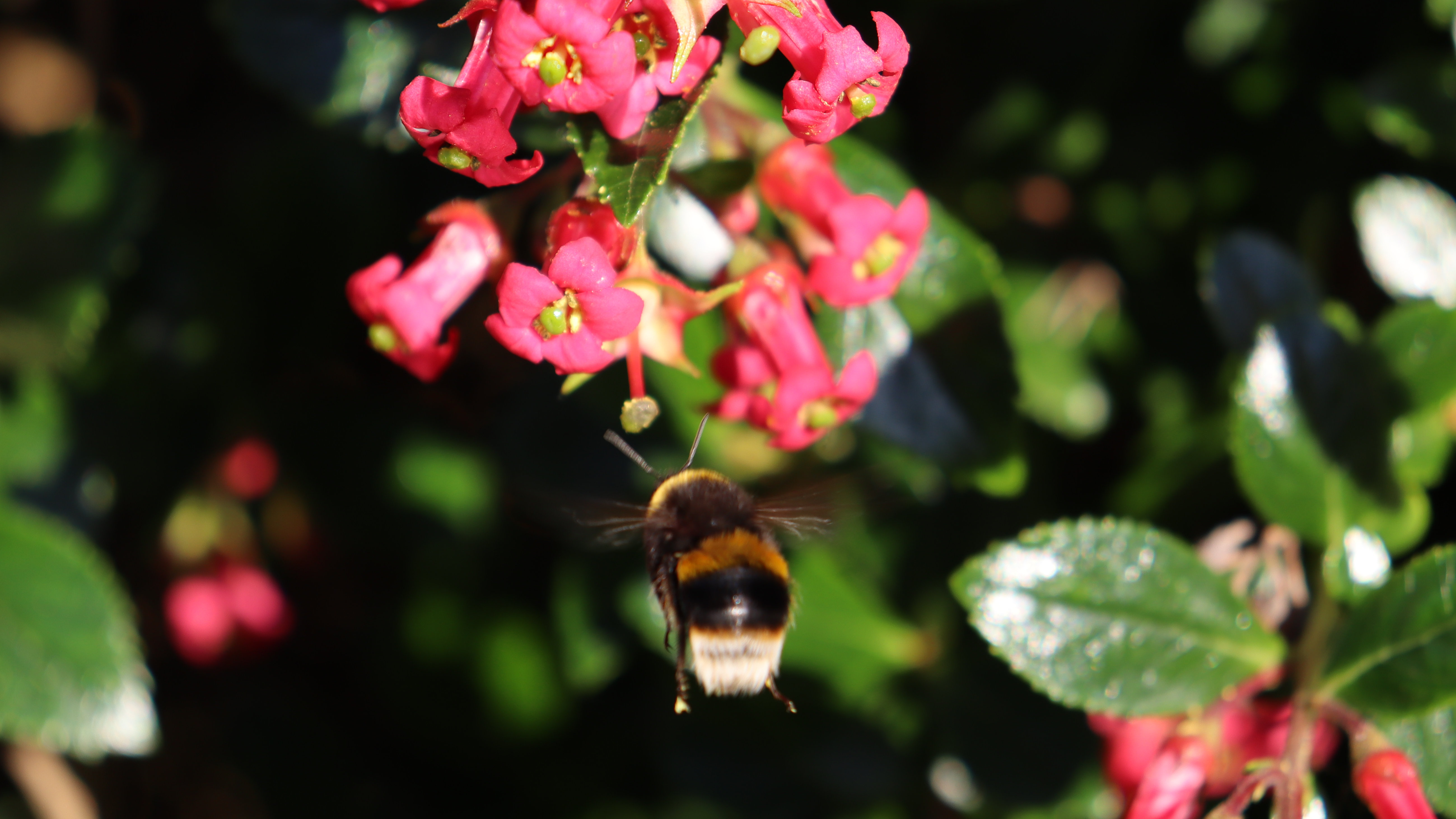 A bee flying straight towards a group of pink flowers.