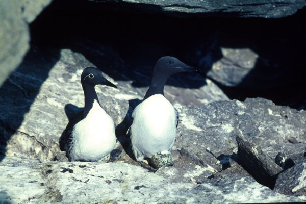 A pair of Guillemots and their egg