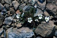 Arctic Sandwort from above