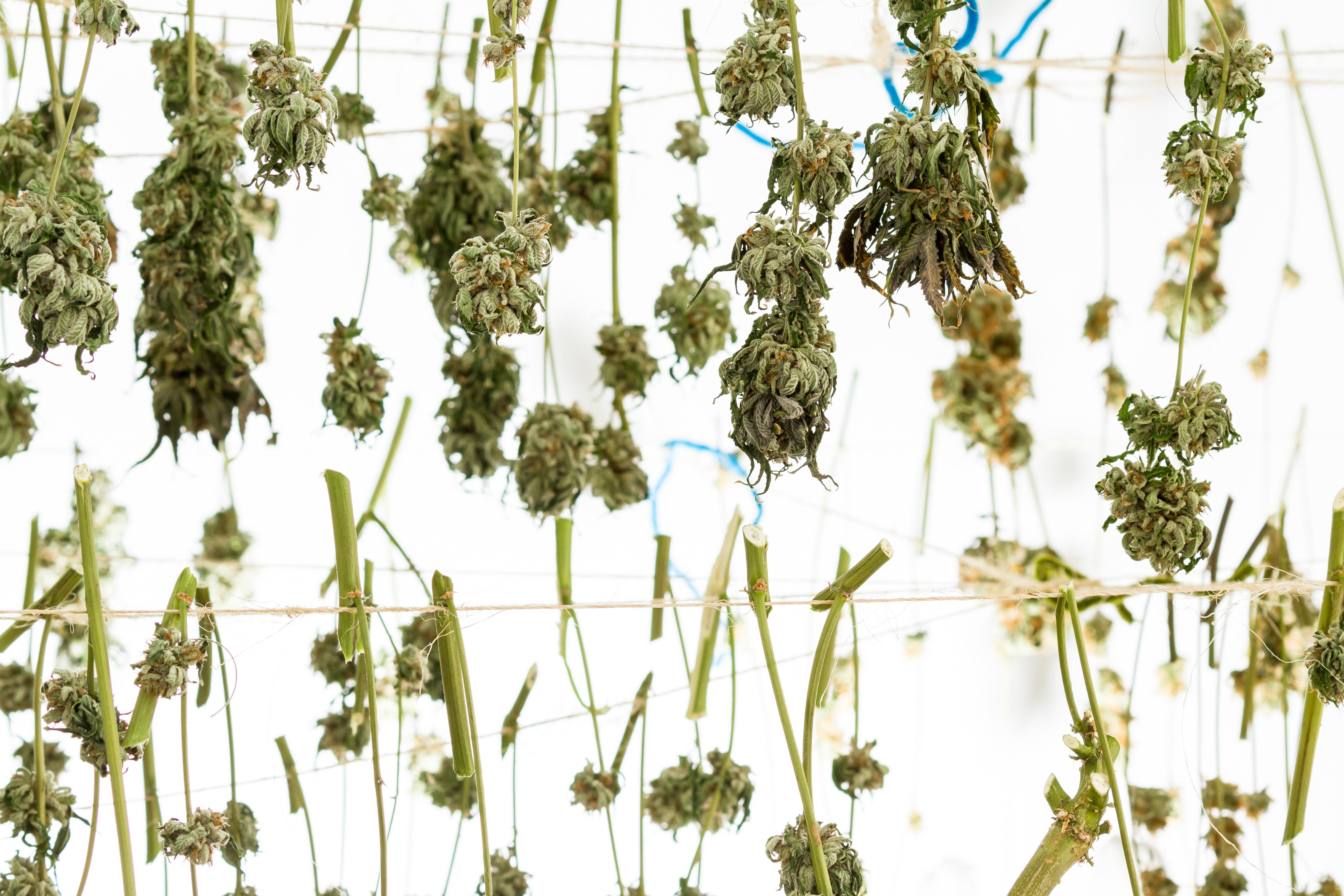 Cannabis Hang Drying