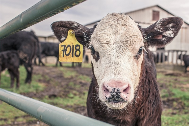 Baby cow tagged and just another number waiting to be killed for food