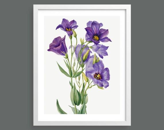 Blue Field Daisy (Eustoma Russelianum) by Mary Vaux Walcott