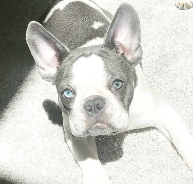 Blue pied french bulldog puppy with blue eyes