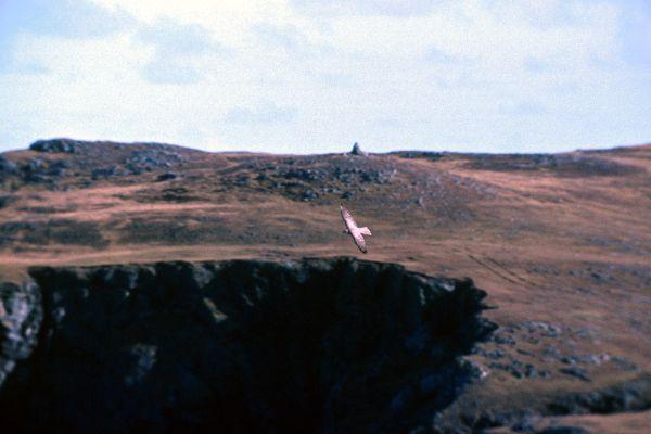 A Gyrfalcon flying around the cliffs