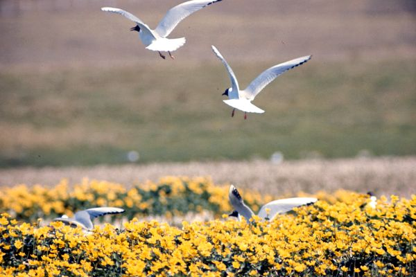 Black Headed Gulls take flight
