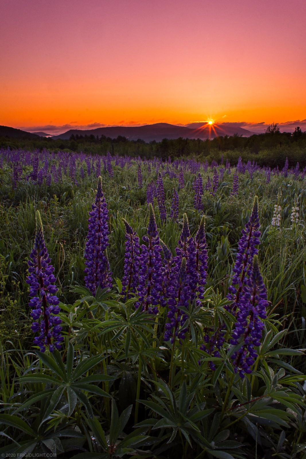 Lupine Sunrise Starburst