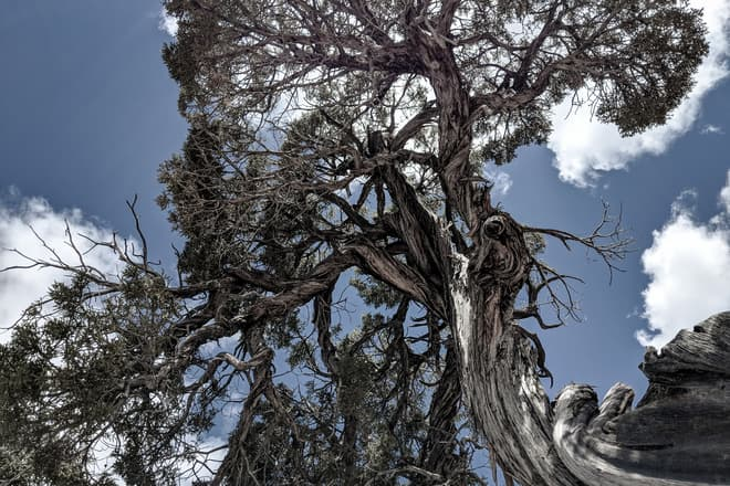 Gnarled juniper branches against the sky.