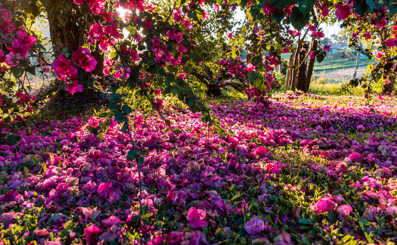 pink flowers in forquetinha, brazil