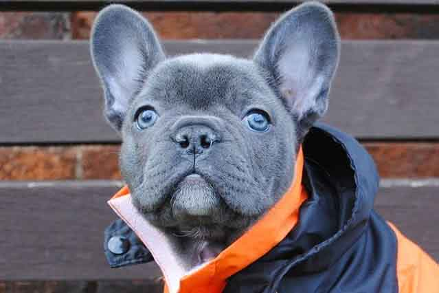 Image of a blue French Bulldog Puppy with Blue eyes wearing an orange jacket