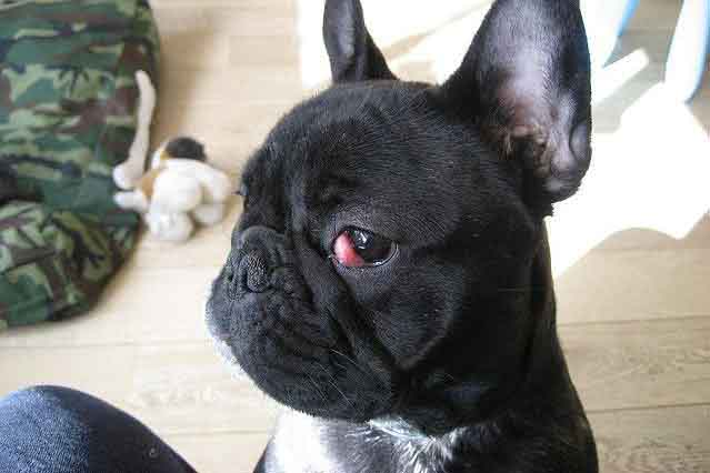 Image of a french bulldog with a cherry eye condition