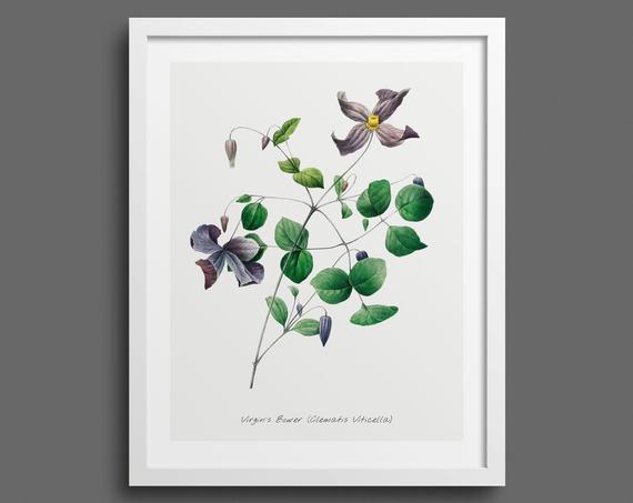 Clematis plant by Pierre-Joseph Redouté