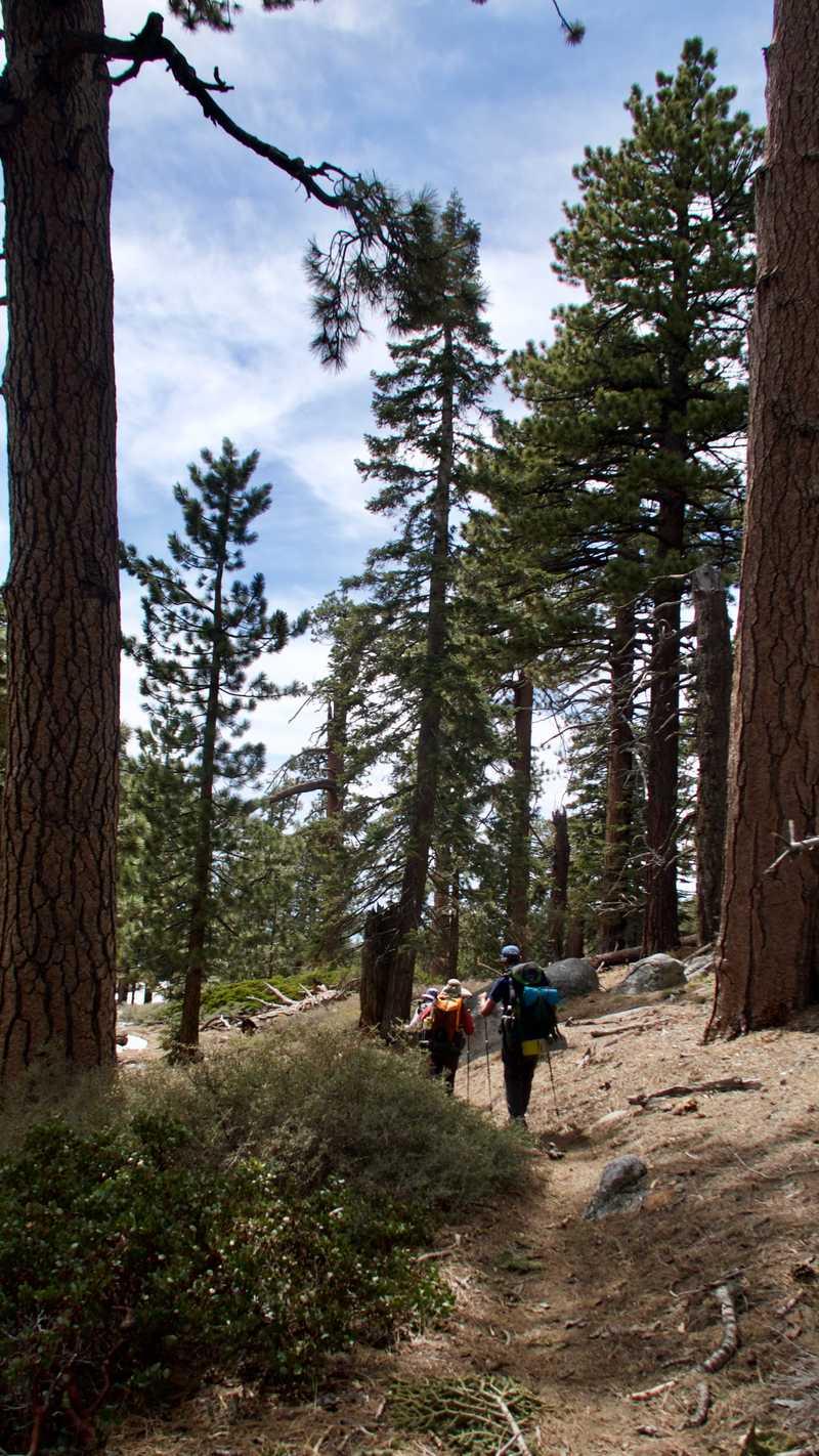 Descending through tall trees