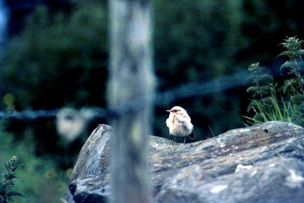 A Wheatear keeps watch from a rock