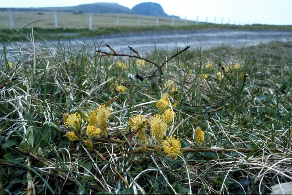 Creeping Willow at the roadside