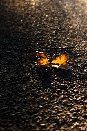 Autumn Oak Leaves 1297