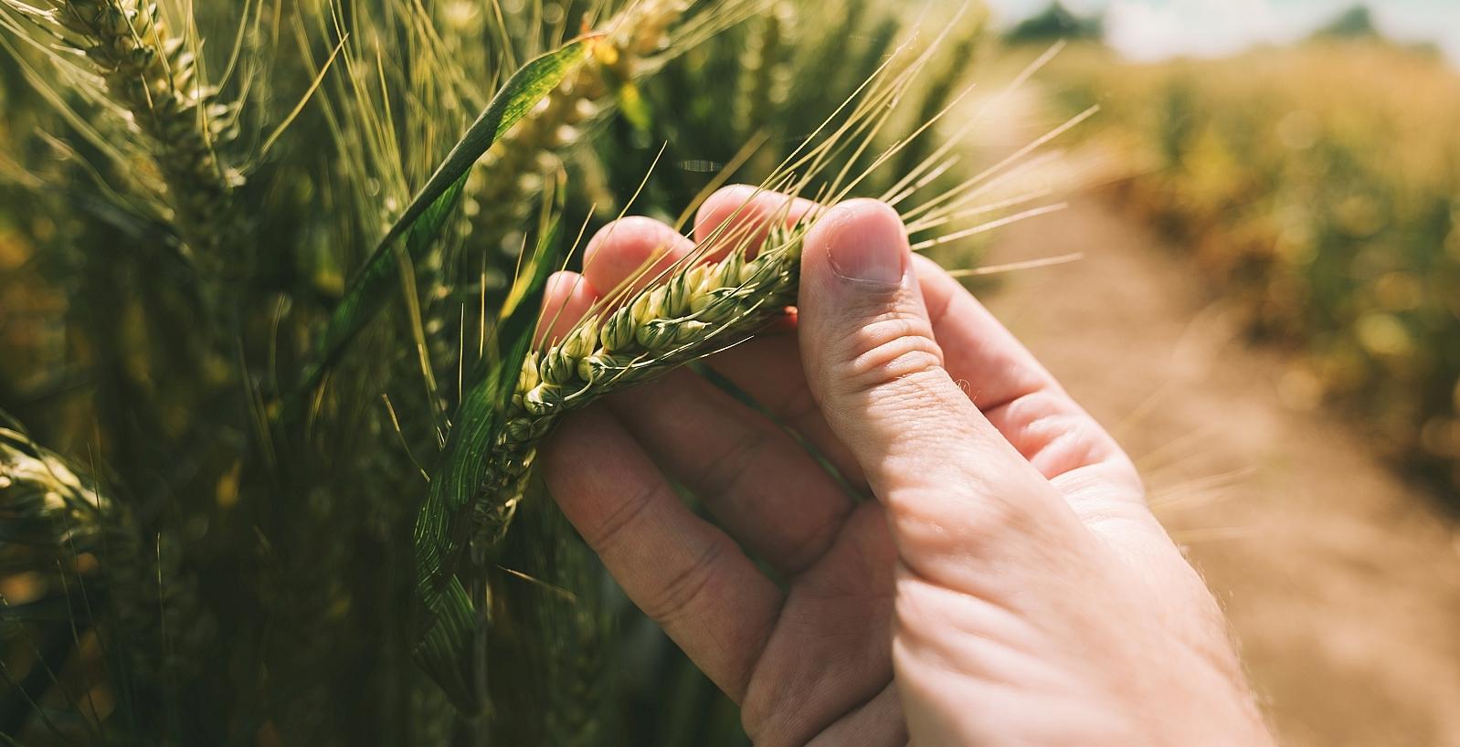 fingers holding grain