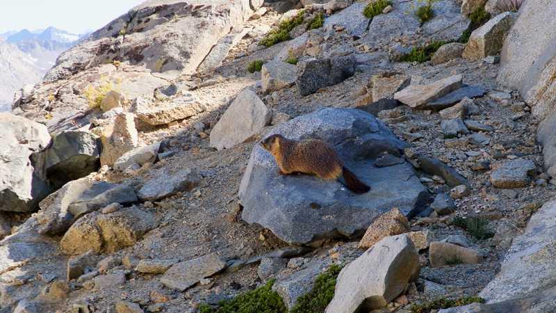 A marmot sits on a rock