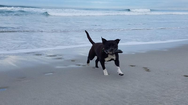 Whistle happily chasing sticks and waves on the beach