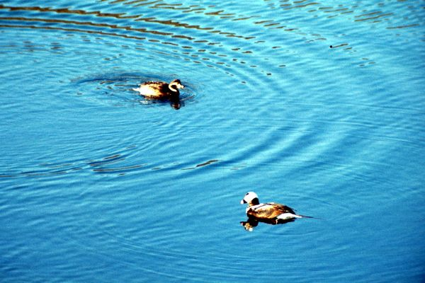 A pair of Long-tailed Ducks on the water