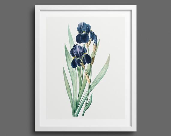 Bearded Iris (Iris Germanica) by Pierre-Joseph Redouté