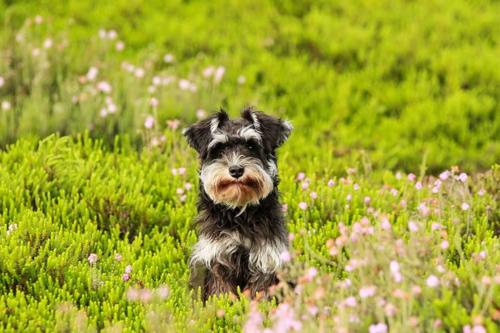 A Schnauzer, what Tramp mostly looks like.