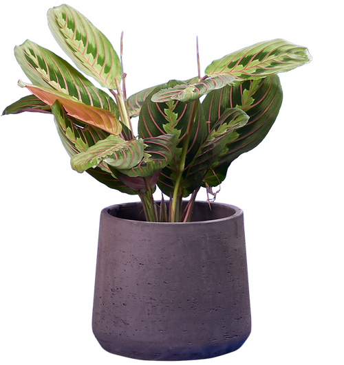 Herringbone Prayer Plant (Maranta leuconeura 'Fascinator' ) - from £9