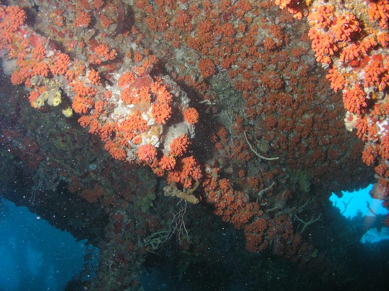Colônia de coral-sol