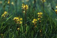 Bog Asphodel flowers in close-up
