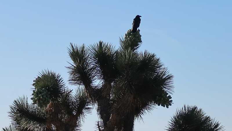 Raven standing on a Joshua tree
