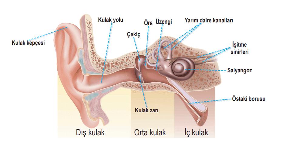 Duyu Organları II: Burun, Kulak ve Dil