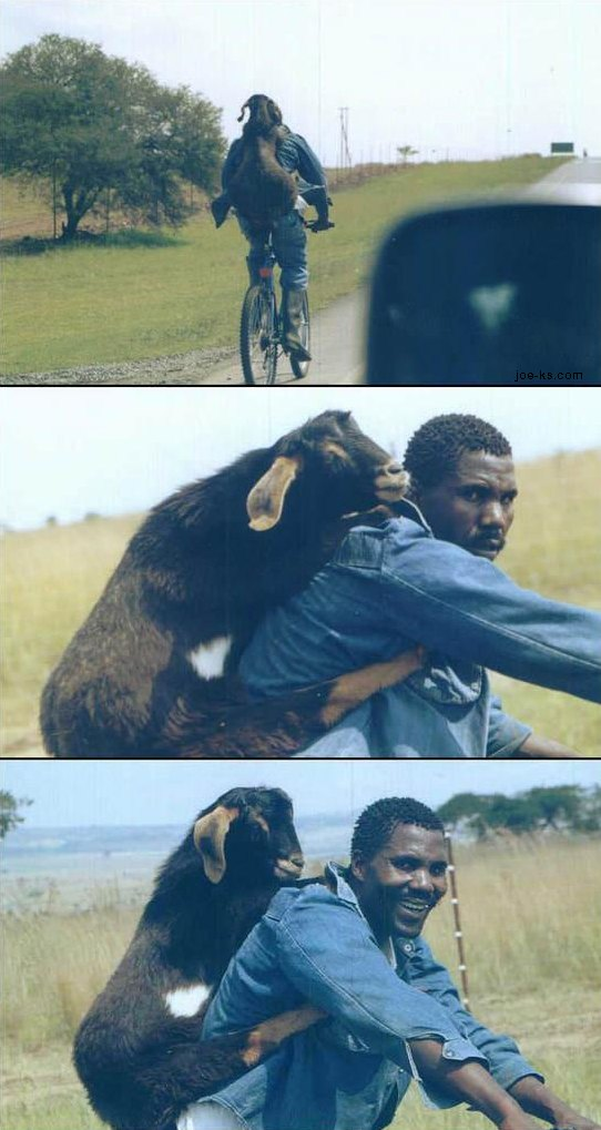 Man on a bicycle with a goat draped across his back like a backpack.
